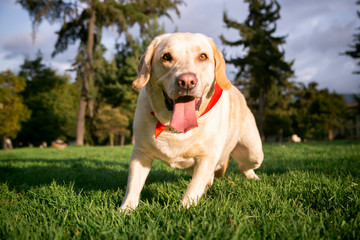 labrador dog sitting on the grass with his tongue out