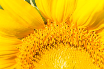 selective focus of yellow sunflower very closeup