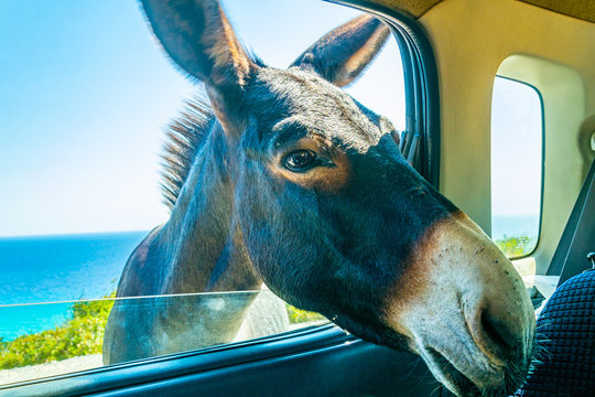 Wild donkey is begging a car driver for food