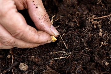 Maiskorn wird in Erde eingepflanzt, Mais oder Zuckermais im eigenen Garten anpflanzen