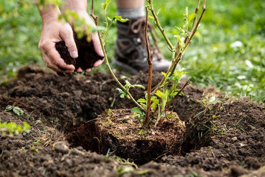 Mann beim Einpflanzen von einem Brombeerstrauch, Hände mit Erde und Rindenmulch