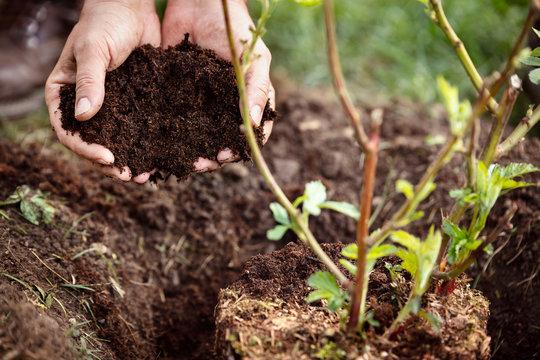 Ein Brombeerstrauch wird in die Erde gepflanzt, Hände mit Humus oder Komposterde