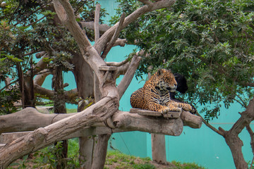 Jaguar and Black Panther lounging in tree in Parque de las Leyendas Zoo in Lima Peru South America