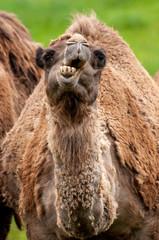 camello y dromedario comen con sus dientes dentadura feo peludo