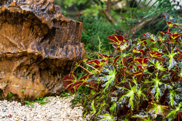 The fresh and colorful leaves of Begonia plants, a wooden rock and pebbles get wet from the sprinkle in a mini garden arranged in Japanese style, background blurred.