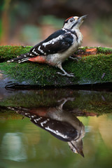 Great Spotted Woodpecker Near The Water (Dendrocopos major)