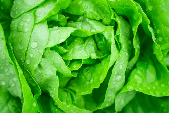 Closeup Fresh organic green leaves lettuce salad plant in hydroponics vegetables farm system
