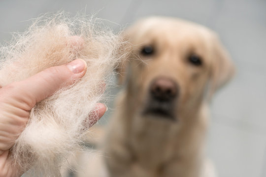 Dog wool close up. Concept of animal molting