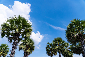 Sugar palm trees can be gorgeous ornament plants. They are grown to beautify the environment of the garden, especially on a sunshine day, blue sky, fluffy white clouds background and copy space.