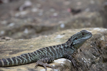 Eastern water dragon on rock