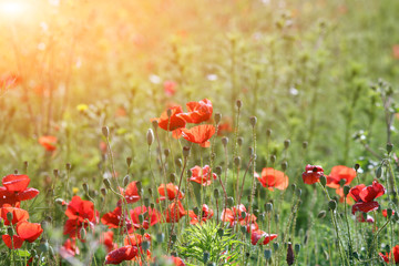 red poppies flower field countryside landscape spring season