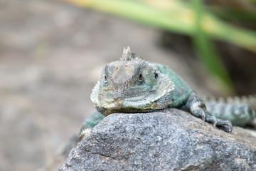 Head shot of Gippsland water dragon