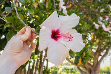 Hibiskus mit weißen Blüten aus Südafrika