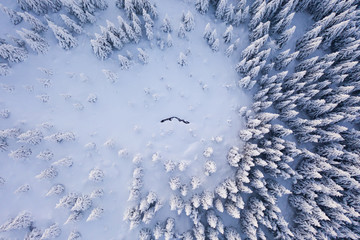 Aerial view of spruce forest in mountain landscape.