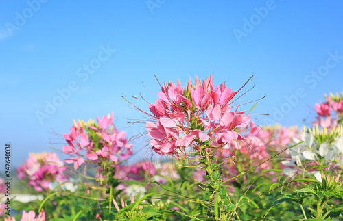 Beautiful Pink And White Spider Flowercleome Spinosa In The Summer