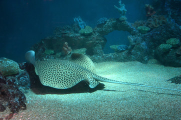 Spotted stingray swims in the aquarium on the sandy bottom. Back view.