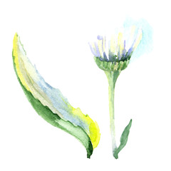 Daisy floral botanical flower. Watercolor background illustration set. Isolated daisy illustration element.