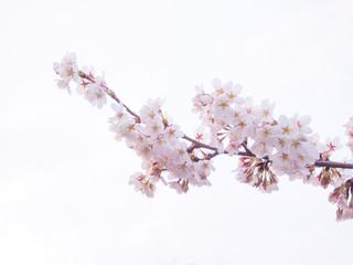 Papiers peints Fleur de cerisier 満開の桜(白背景)