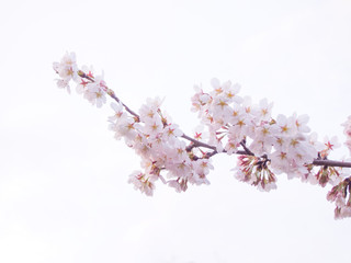 Foto op Canvas Kersenbloesem 満開の桜(白背景)