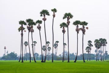 Sugar palm trees on green rice field