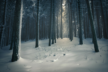 Dark magical pine forest in winter.