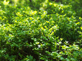 Picture Of A Green Bush In The Summer Garden