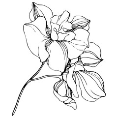 Vector Orchid floral botanical flower. Black and white engraved ink art. Isolated orchid illustration element.
