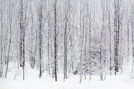 Snow in the forest. Franklin, Vermont, USA