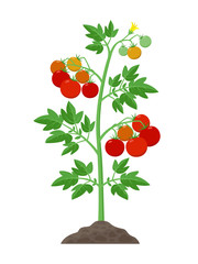 Tomato plant with ripe tomatoes fruits and flowers growing in the ground vector illustration isolated on white background.