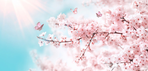 Branches of blossoming cherry against background of blue sky and fluttering butterflies in spring on nature outdoors. Pink sakura flowers, dreamy romantic artistic image of spring nature, copy space.