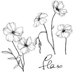 Vector Flax floral botanical flower. Black and white engraved ink art. Isolated flax illustration element.