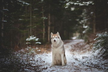 Beautiful siberian husky dog sitting on the snow path in the forest in winter on fir-trees background. Profile portrait