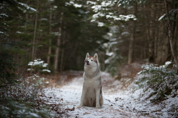 Prideful siberian husky dog sitting on the snow path in the forest in winter on fir-trees background. Profile portrait