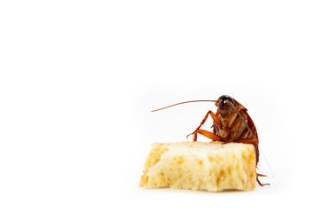 germs spread, Brown Cockroach eating a Piece of Bread.