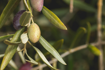 Detail of green picual olive growing in the tree