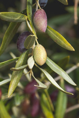 Detail of picual olives growing in a tree