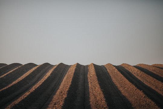 Arbequina Olive Intensive Plantation