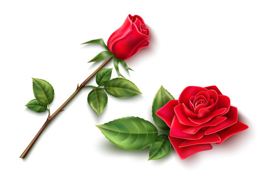 Vector realistic red rose blossom leaf stem set