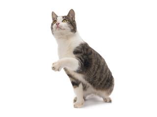 gray cat isolated
