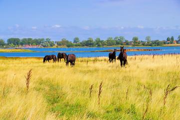 Poel Pferde - horses in the pasture on the island of Poel