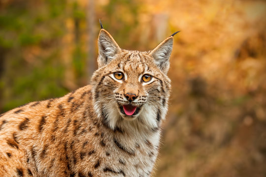 Adult eursian lynx in autmn forest gazing to the camera. Endangered predator in natural environment in evening light with vivid colors.