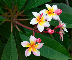 Spoed Fotobehang Frangipani Plumeria also known as frangipani flowers in bloom. Flowers that come in a variety of colors. A genus native to the tropical and subtropical Americas. Spread to all tropical locations of the world