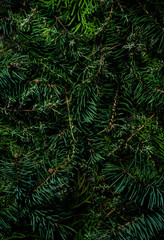 Natural coniferous plant texture. Green branches of spruce, juniper and fir trees