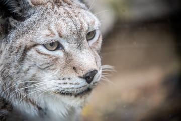 Tuinposter Lynx Portrait d'un lynx