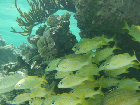 Akumal, Mexico Summer / Underwater Flock of French Grunt.