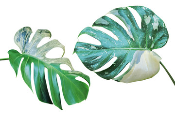 Variegated Leaves of Monstera Plant Isolated on White Background