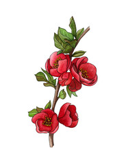 Watercolor illustration  of Japanese quince (chaenomeles) in bloom, hand drawn floral illustration