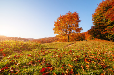 壁紙(ウォールミューラル) - Shiny beech tree on a hill slope with sunny beams. Location Carpathians, Ukraine, Europe.