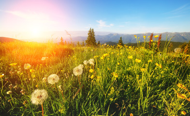 Wall Mural - Morning view of the blooming field in the sunlight. Location place Carpathian, Ukraine.