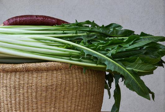 Organic Chicory cicoria catalogna salad in the basket.